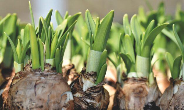 Comment planter des bulbes à l'automne pour des fleurs au printemps et en été